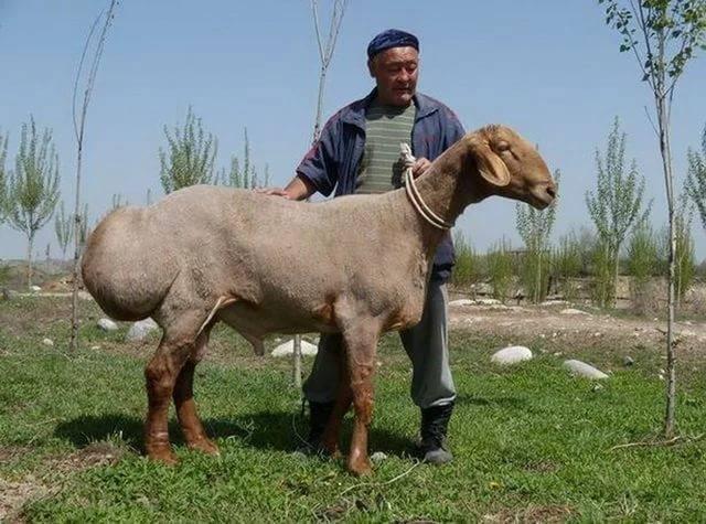 Характеристики гиссарской породы овец