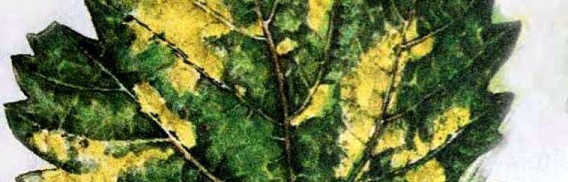 Применения железного купороса для винограда в осенний период - общая информация - 2020