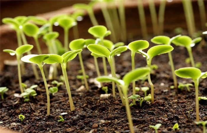 Как подготовить семена для посадки рассады
