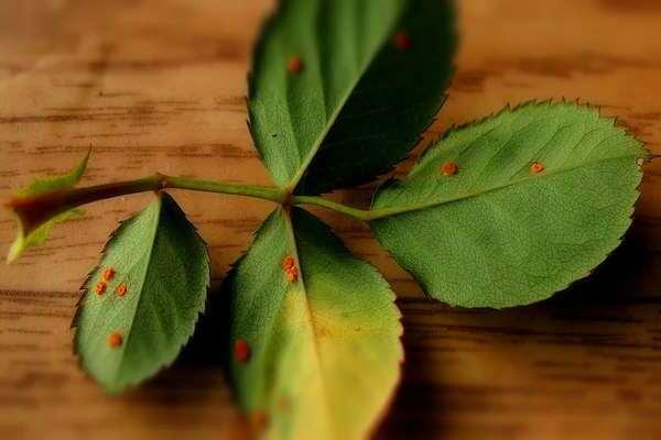 Вредители и болезни розы. средства защиты