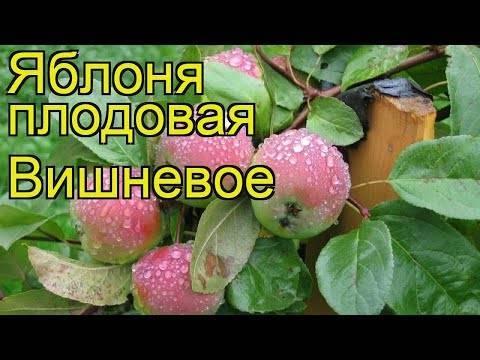 Раннезимняя яблоня вишневое: фото и описание сорта