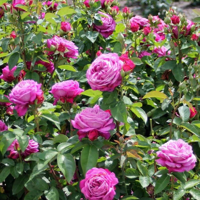 Описание и техника выращивания высокодекоративной розы хайди клум
