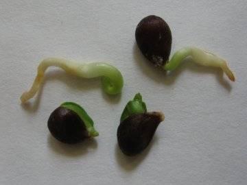 Как вырасти яблоню из семечка в домашних условиях — пошаговая инструкция