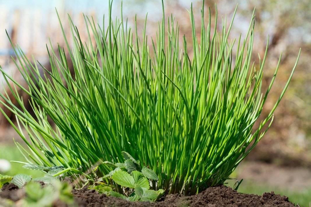 Все о выращивании лука Шнитт: посев и уход за растением, условия для роста