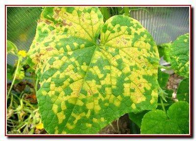 Почему желтеют листья у огурцов в теплице и как с этим бороться: советы