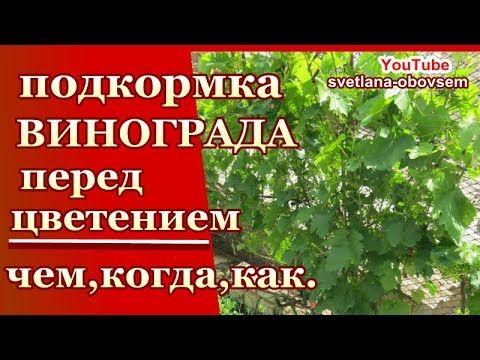 Опрыскивание винограда весной от болезней и вредителей