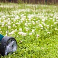Белый клевер для газона: отзывы и правила посадки