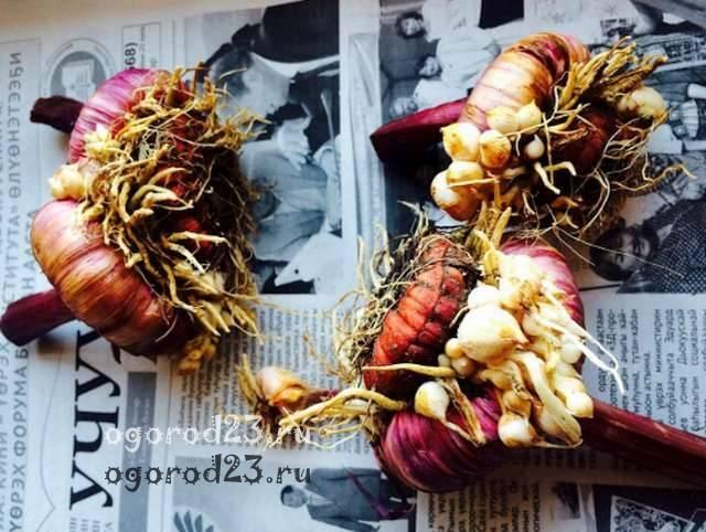 Когда выкапывать, как хранить гладиолусы зимой и когда посадка