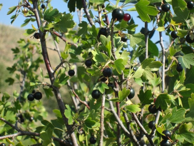 Совместимость плодовых деревьев и кустарников на участке в саду
