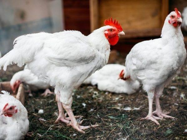 Лечение кур и цыплят антибиотиками