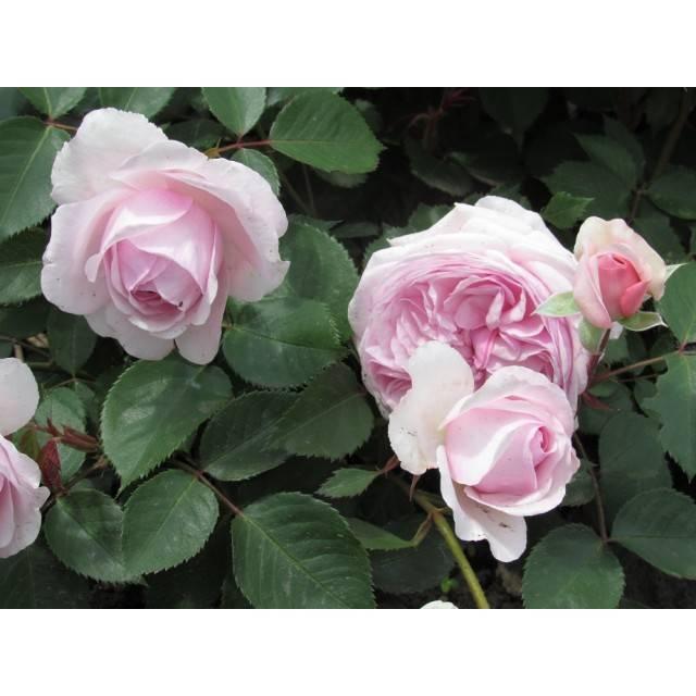 Роза оливия роуз — разбираем в общих чертах