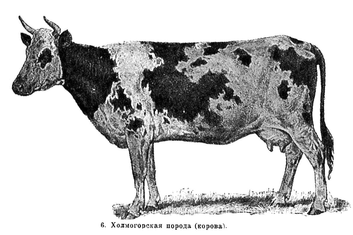 Холмогорская (порода коров) — википедия с видео // wiki 2