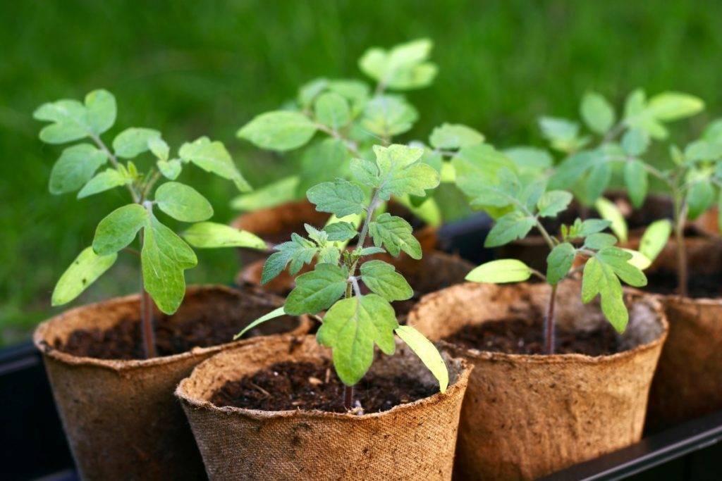 Выращивание рассады арбуза в домашних условиях