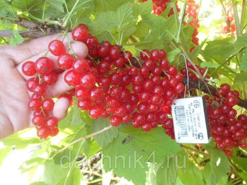 Выращивание красной смородины: выбор сорта, особенности посадки и ухода, размножение черенками и отводками, фото и видео
