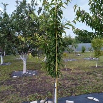 Особенности выращивания и ухода за колоновидной вишней