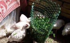 Как давать курам сухую крапиву зимой. зелень для куриц-несушек
