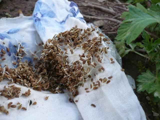Как быстро прорастить семена петрушки и ускорить посев в открытый грунт весной: что нужно сделать, чтобы зерна взошли, а именно подготовка и обработка до посадки