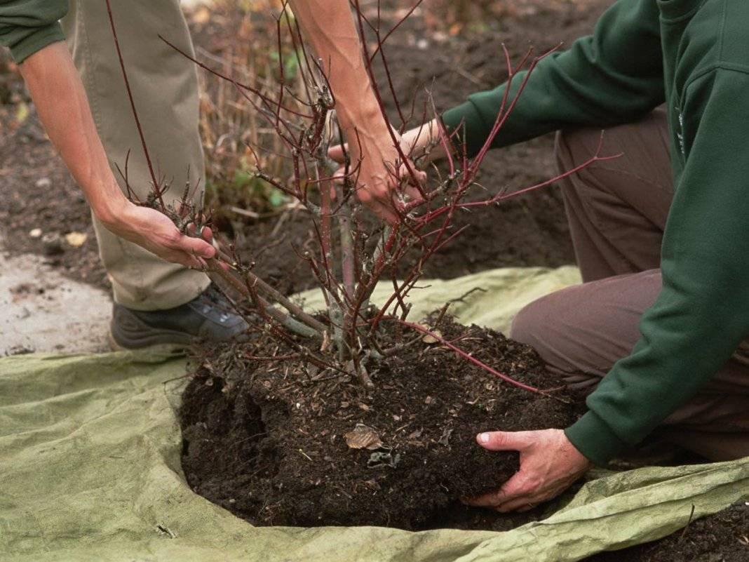 Пересаживание крыжовника: когда можно делать пересадку, как сажать весной и осенью