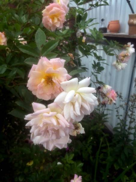Как размножать розу: пошаговая инструкция. как размножить розы черенками?