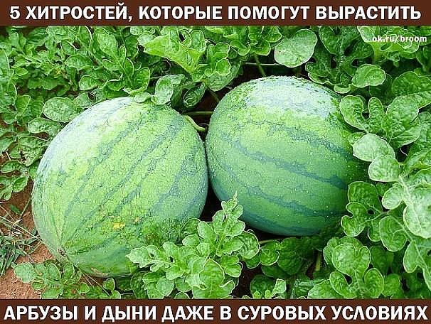 Выращивание арбузов в ленинградской области в теплице