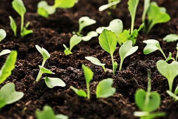Благоприятные дни для посева капусты в 2020 году: сроки посадки по регионам и лунному календарю, по месяцам