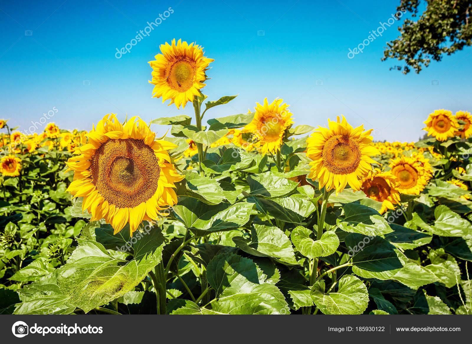 Подсолнух – выращивание