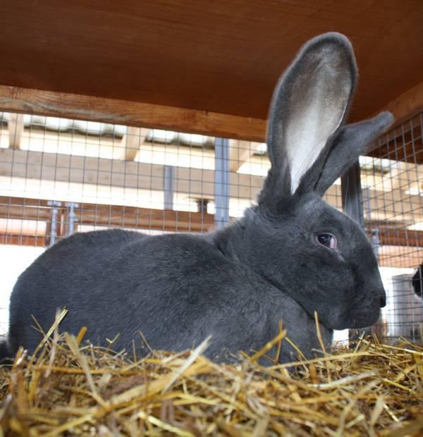 Бургундский кролик – подробный обзор породы
