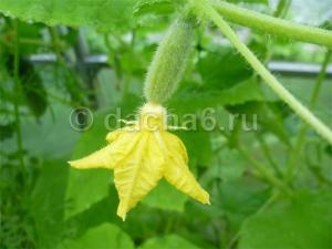 Подкормка огурцов содой: когда применяется, что дает растениям. полезные рекомендации