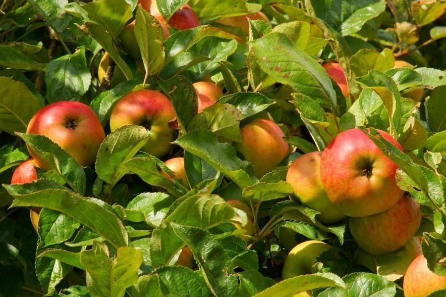 Описание яблони сорта «имрус»