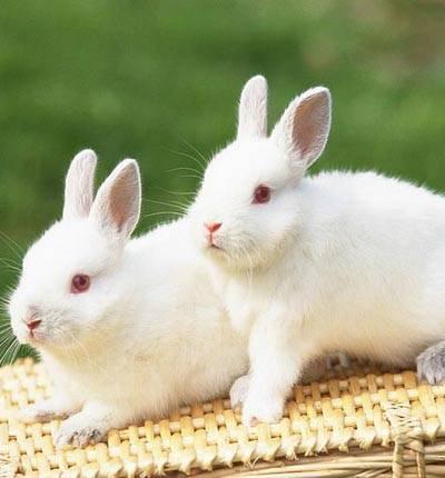 Кастрация кроликов: как проводят процедуру и для чего необходима