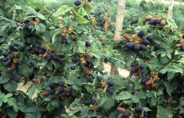 Выращивание садовой ежевики – описание от покупки саженца и его посадки в открытый грунт до ухода и сбора урожая от подмосковья до сибири (фото & видео) +отзывы