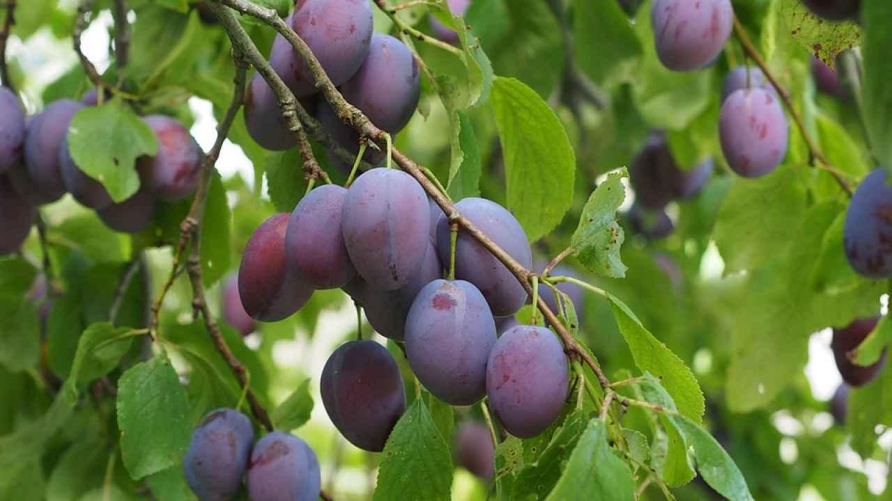 Слива домашняя 'яичная синяя' — википедия с видео // wiki 2