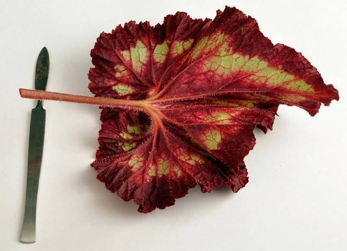 Как размножить бегонию листьями: пошаговый мастер-класс с фото