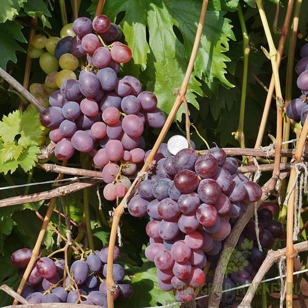Виноград низина: описание сорта, подробные характеристики и его особенности, фото