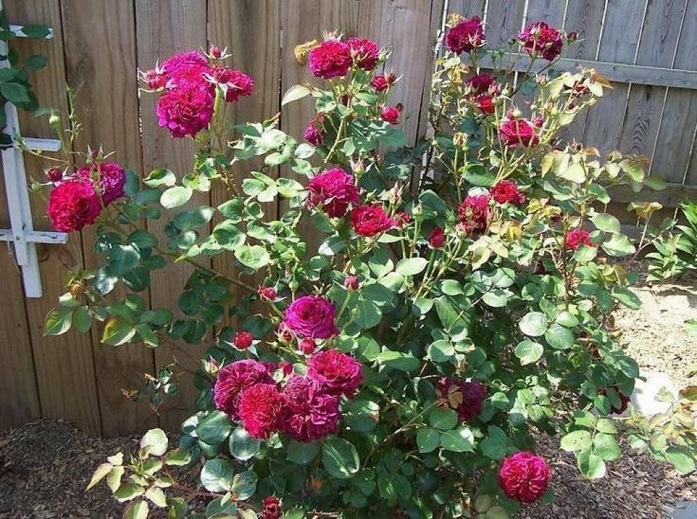 Парковый сорт роз фальстаф: как выращивать, особенности цветения пурпурного цветка