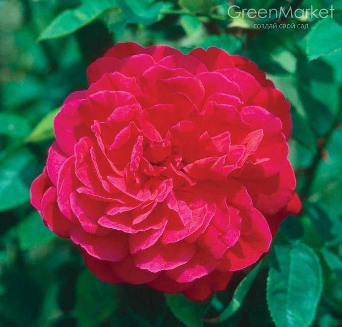 Парковые розы: сорта, характеристика, посадка и уход