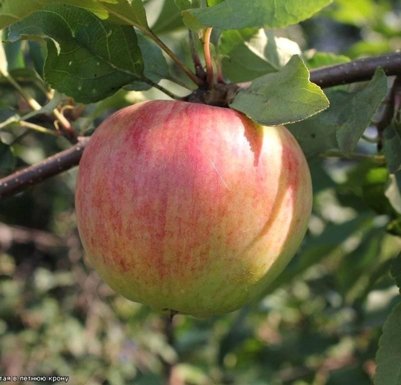 Описание сорта яблони сувенир алтая