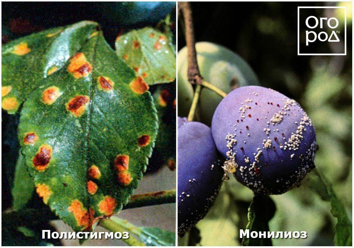 Все о причинах и методах борьбы с опаданием завязи и зеленых плодов сливы