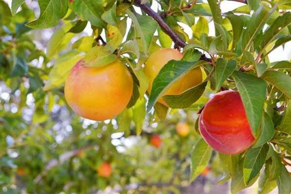 Слива персиковая фото и описание сорта, посадка и уход