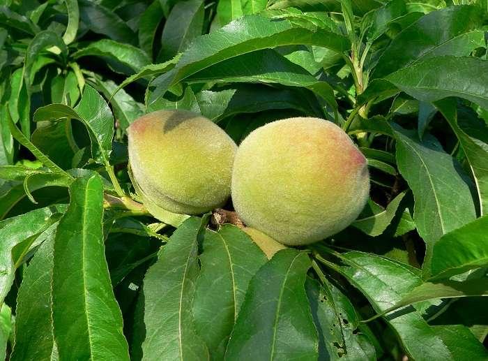 Абрикосовое дерево не плодоносит? решаем проблемы простыми способами!