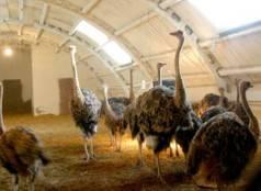 Разведение страусов в домашних условиях - общая информация - 2020