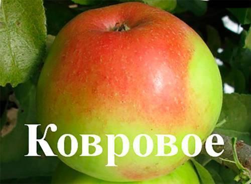 Колоновидная яблоня: посадка и уход, фото, обрезка, описание сортов для подмосковья