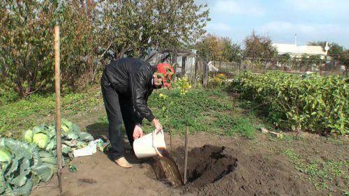 Как правильно посадить грушу — несколько секретов