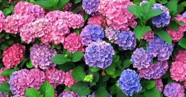 Чем полить гортензию для изменения цвета?