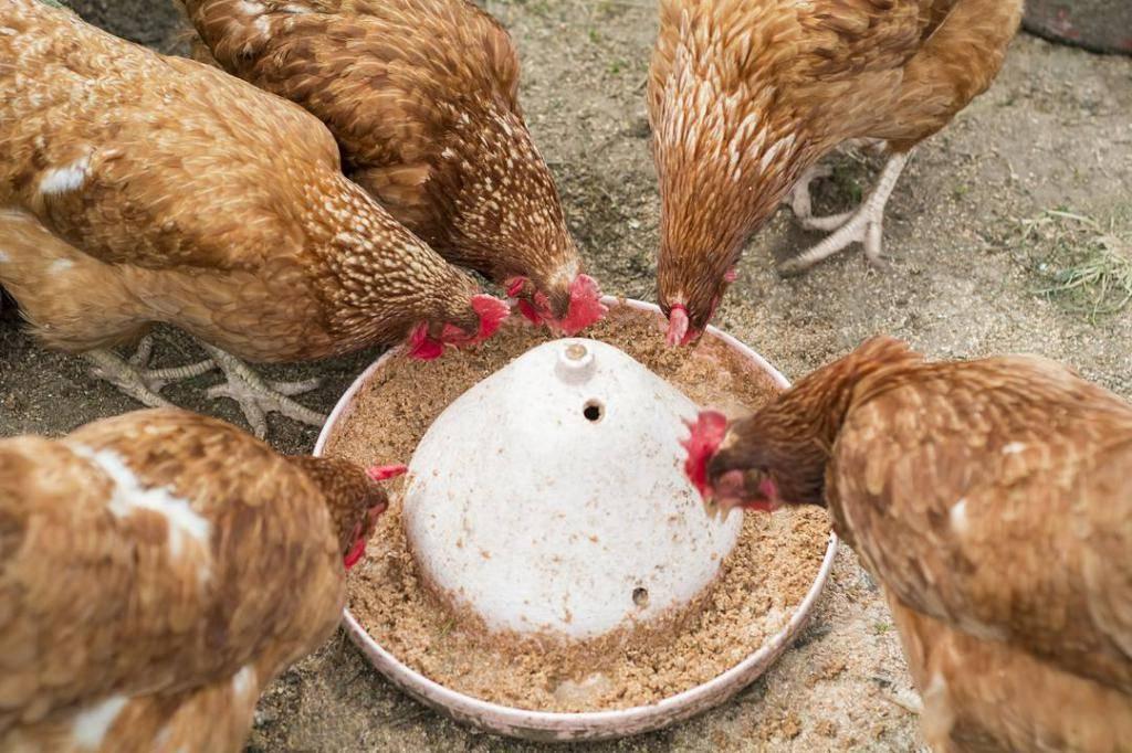 Чем кормить кур несушек, чтобы лучше неслись