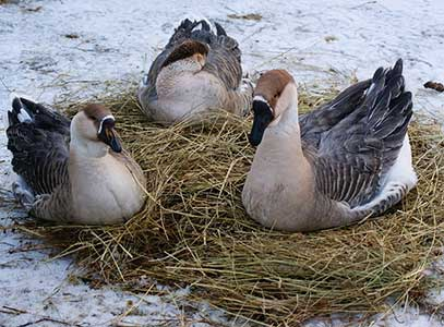 Породы гусей — лучшие породы, выращивание и варианты разведения гусей в домашних условиях (95 фото + видео)
