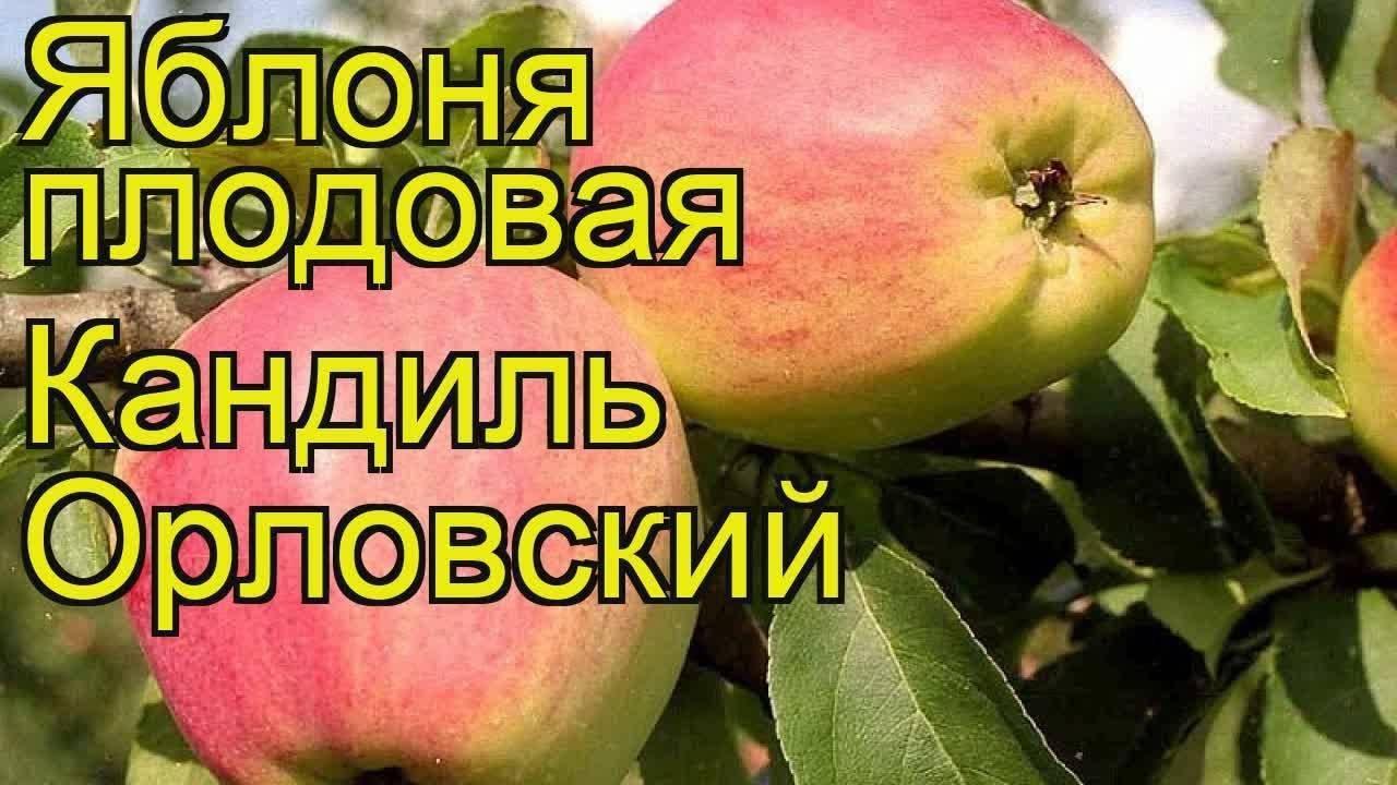 Яблоня кандиль орловский: описание сорта и советы по посадке