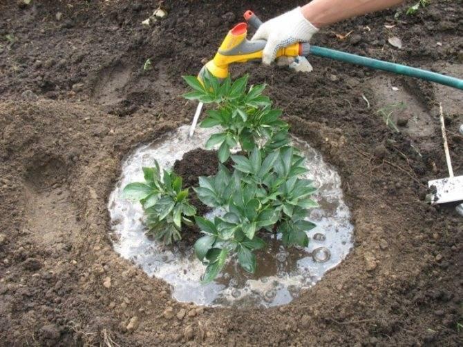 Когда пересаживать пионы – практическое руководство для начинающих садоводов