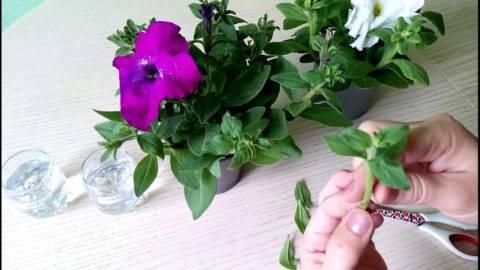 Выращивание петунии из черенков в домашних условиях