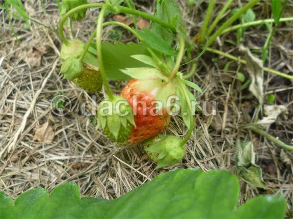 Чем подкормить клубнику перед и во время цветения, в период плодоношения, после урожая и обрезки?